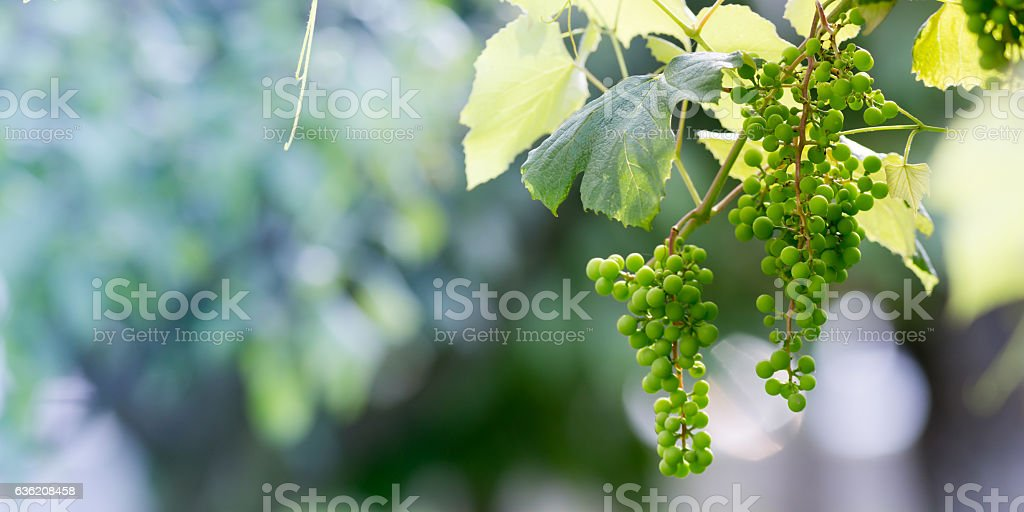 Unripe white grapes in a vineyard stock photo