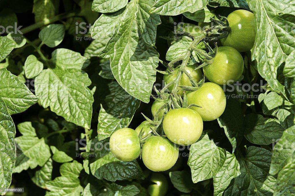 Unripen Tomatoes stock photo