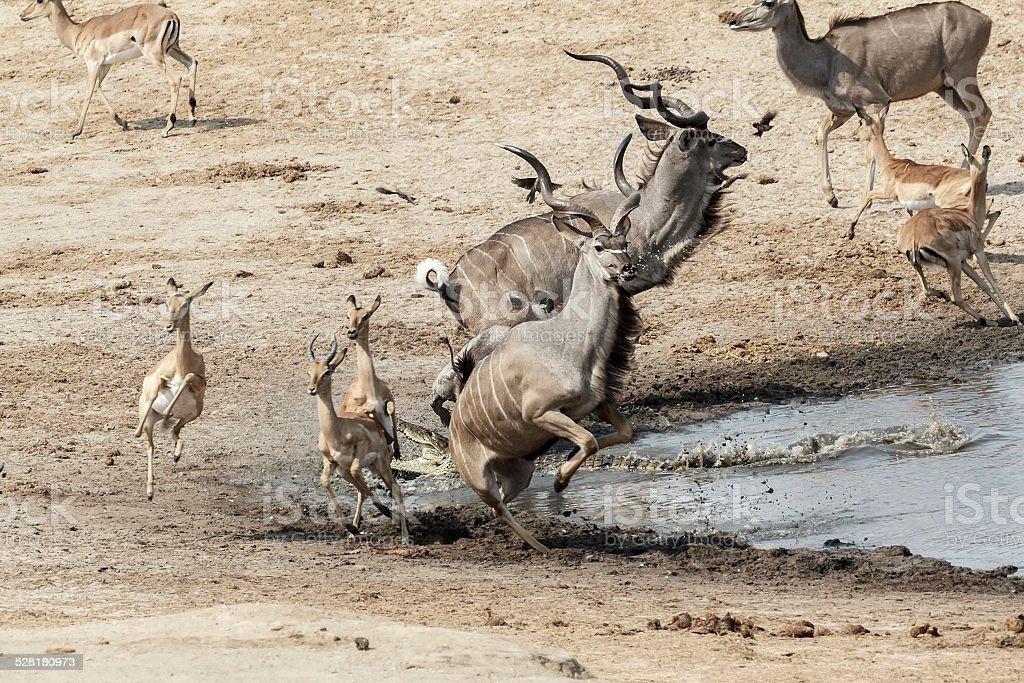 unsuccessful attack on crocodile to antilops kudu and unsuccessf stock photo