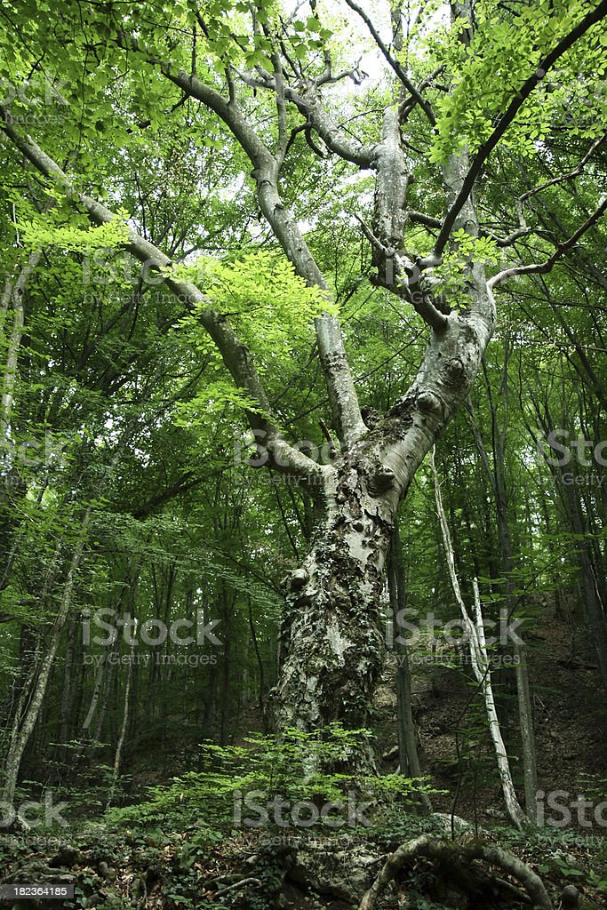 Untouched forest royalty-free stock photo
