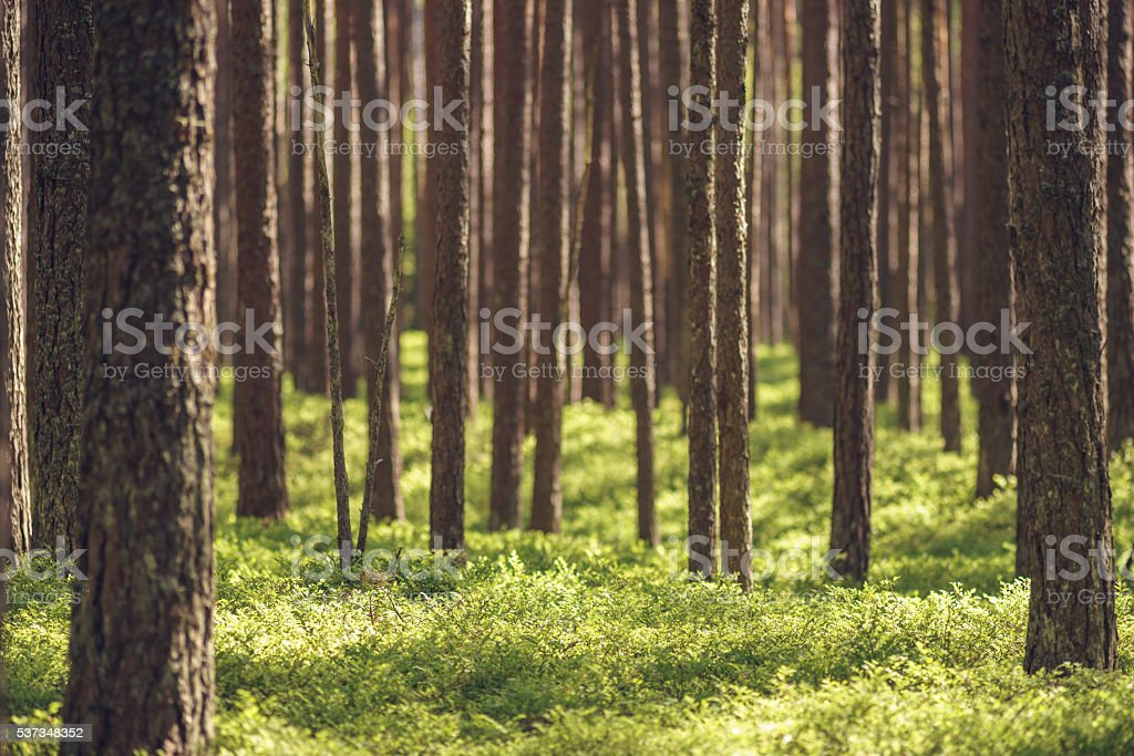 Untouched spruce pine forest stock photo