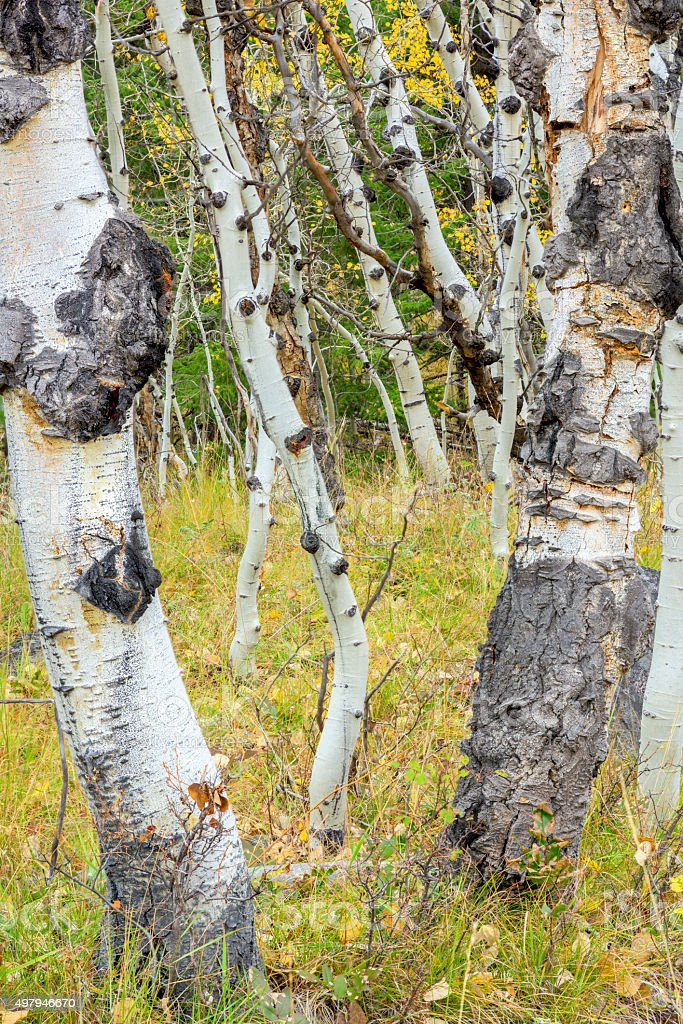 Unusual Aspen trees in a grove stock photo