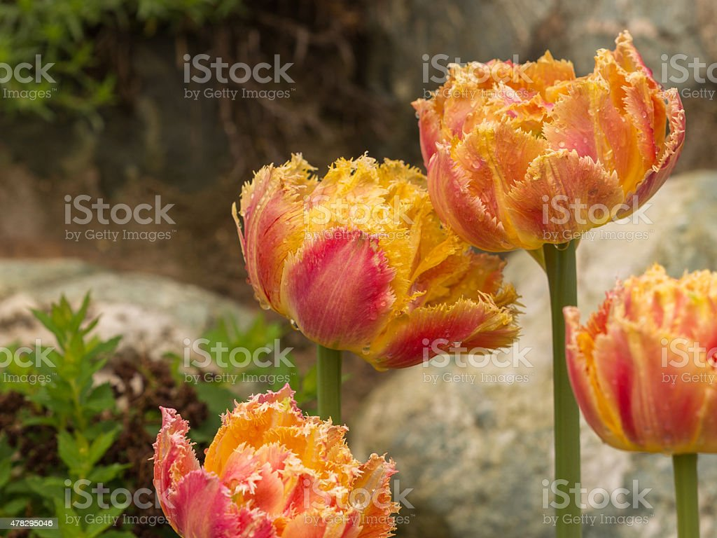 unusual bi-colored tulips stock photo