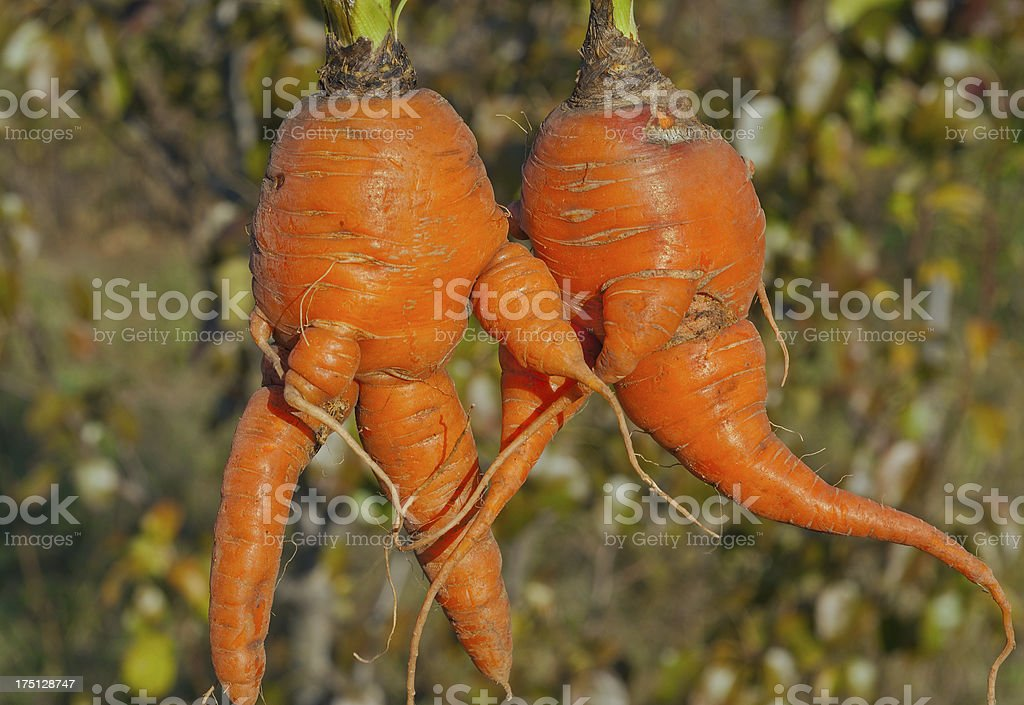 Unusual carrot royalty-free stock photo