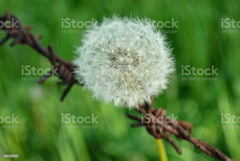 Unusual dandelion composition royalty-free stock photo