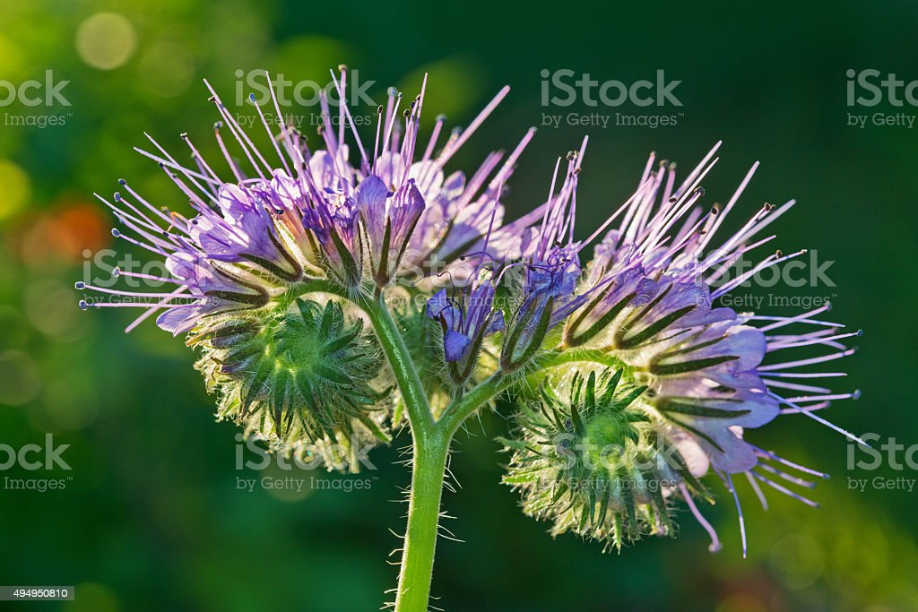 Unusual lilac flower macro in sunbeam. stock photo