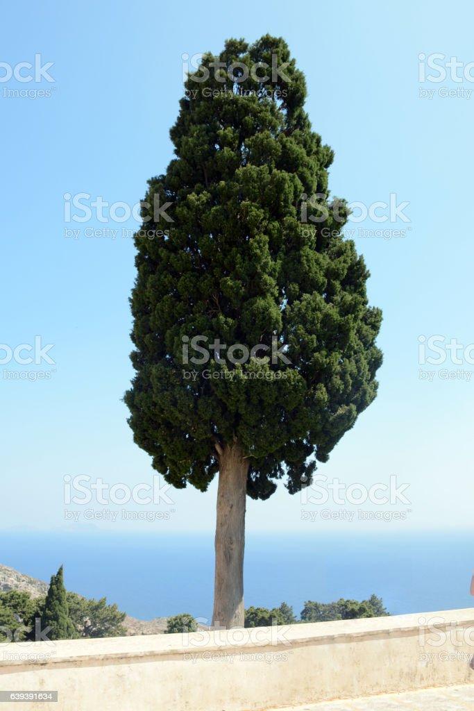 Unusual lonely tree in the Preveli monastery. Crete, Greece. stock photo