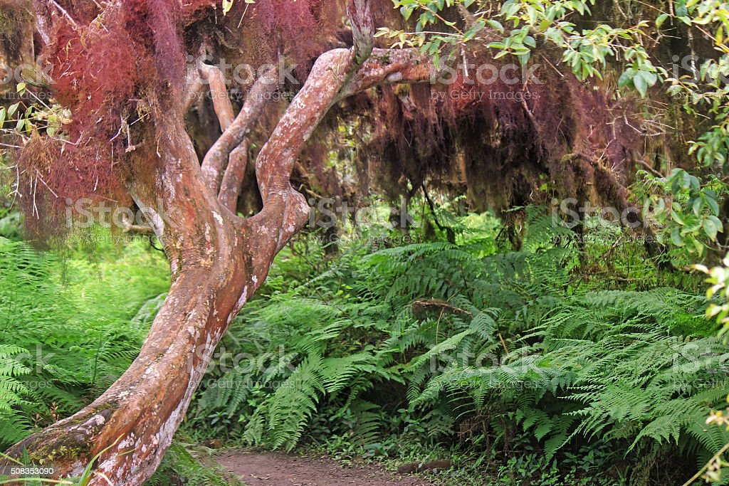 Unusual Moss-draped Tree in the Galapagos stock photo