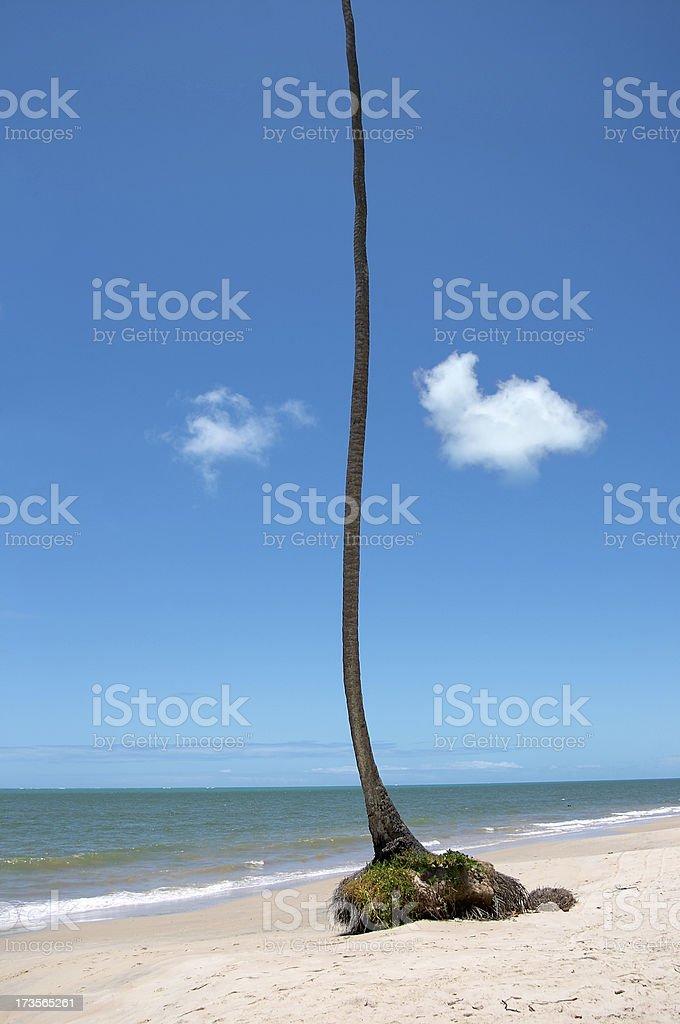 Unusual palmtree at the beach (Brazil) royalty-free stock photo
