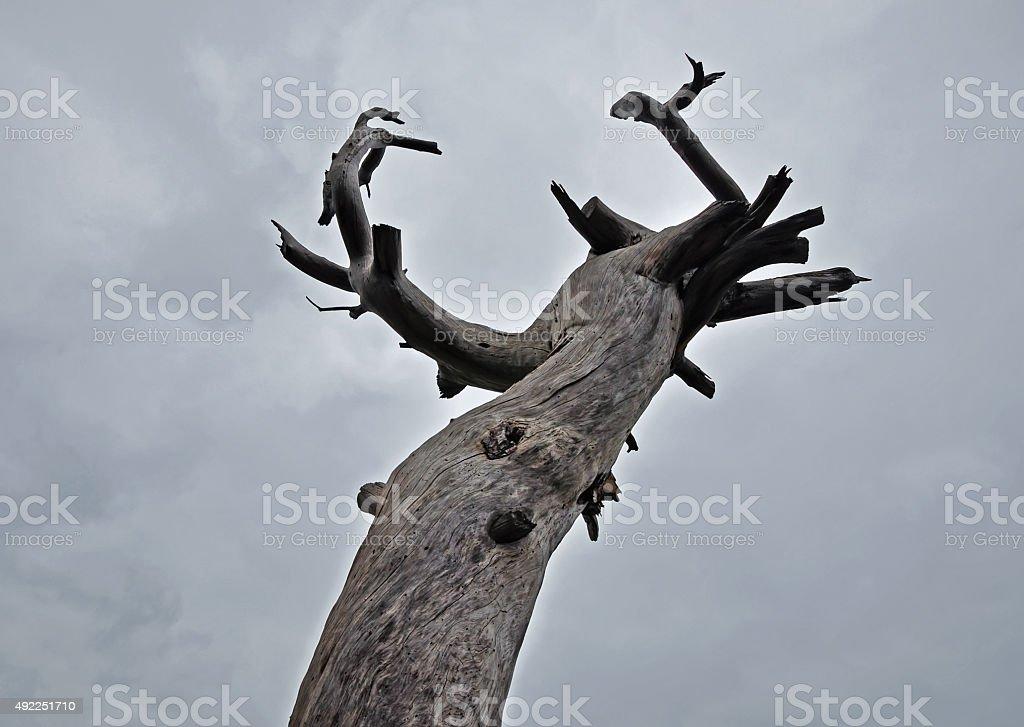 unusual pine tree stock photo