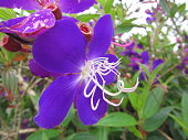 Unusual Purple Flower with Long White Stamens