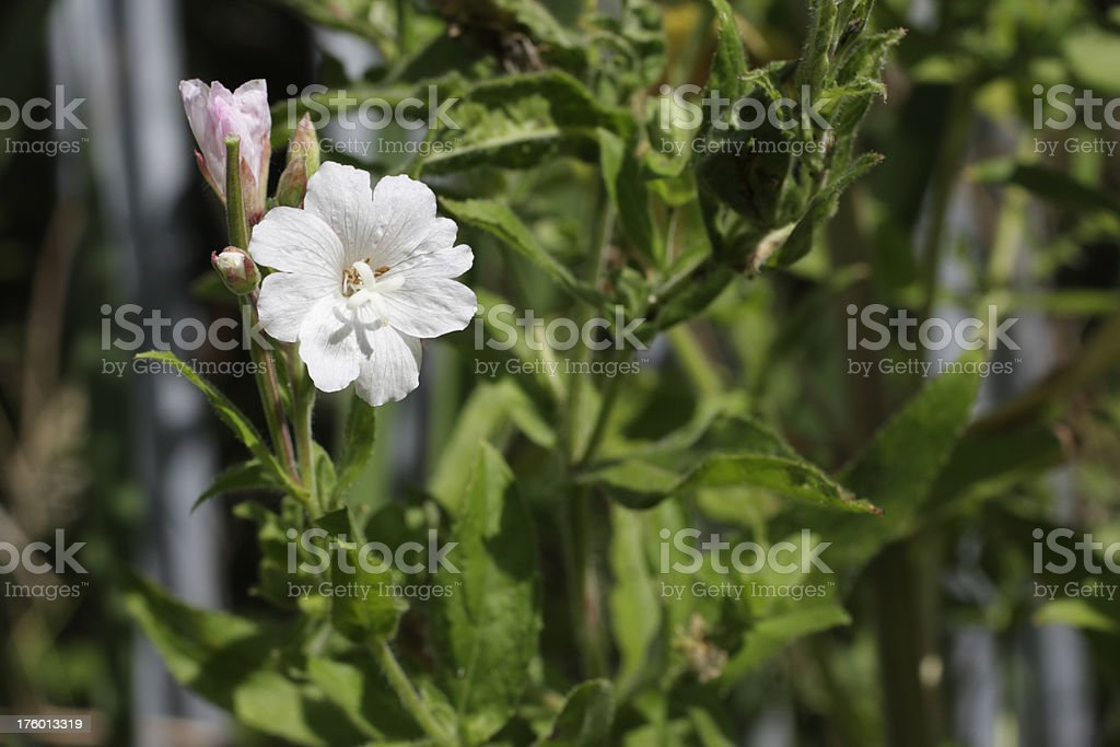 Rare white flowered great willowherb Epilobium hirsutum stock photo