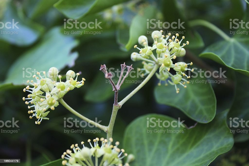 Unusual spheric flowers and green ivy leaves royalty-free stock photo