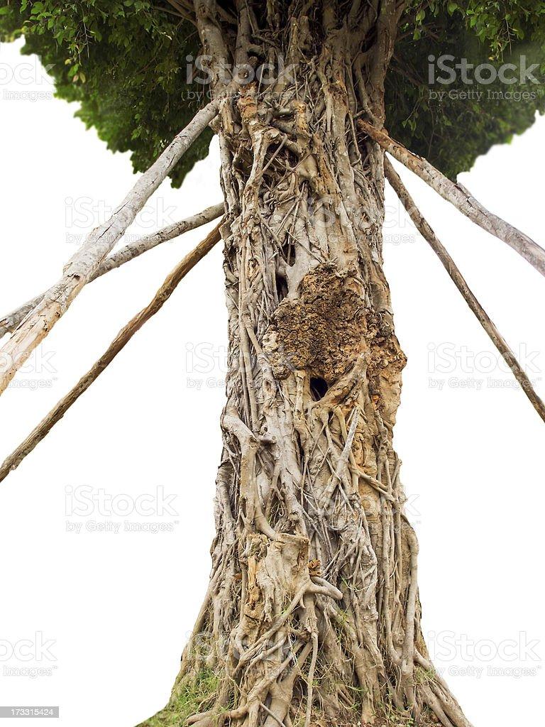 Unusual tree royalty-free stock photo