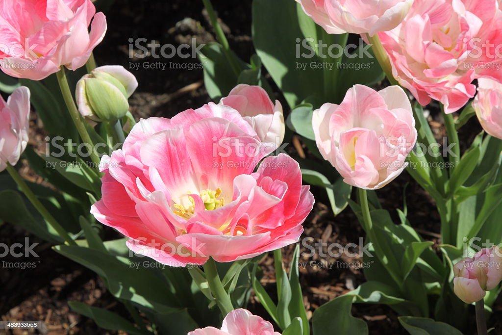 Unusual Tulip stock photo