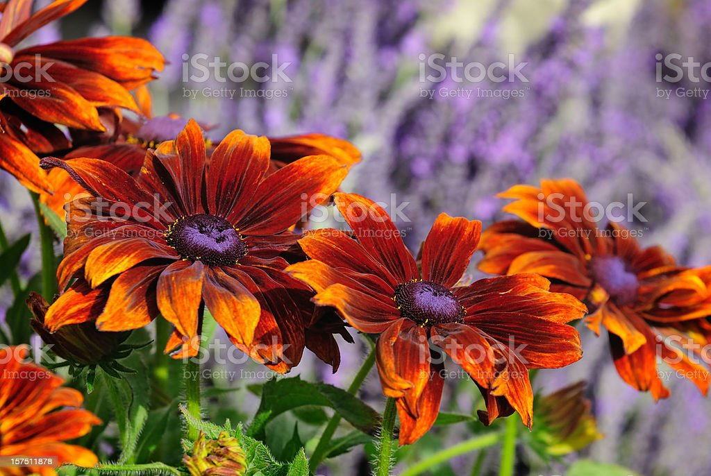 Unusual vibrant Orange and Purple Daisies royalty-free stock photo