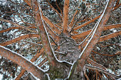 Unusual view of winter pine tree, from bottom to top