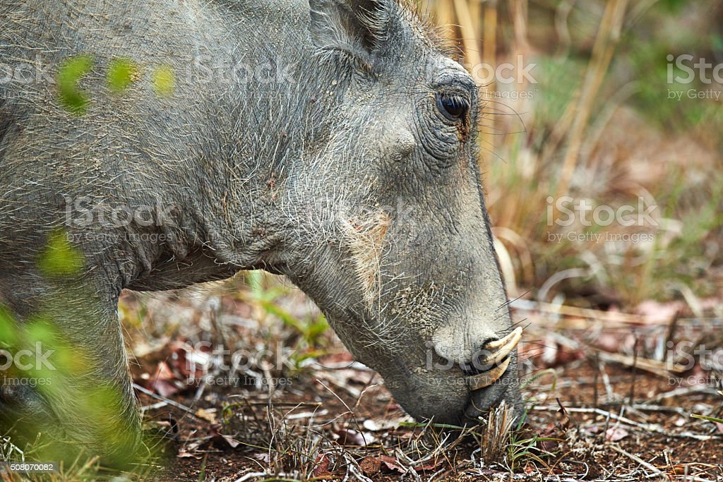 Up close and personal with a warthog stock photo