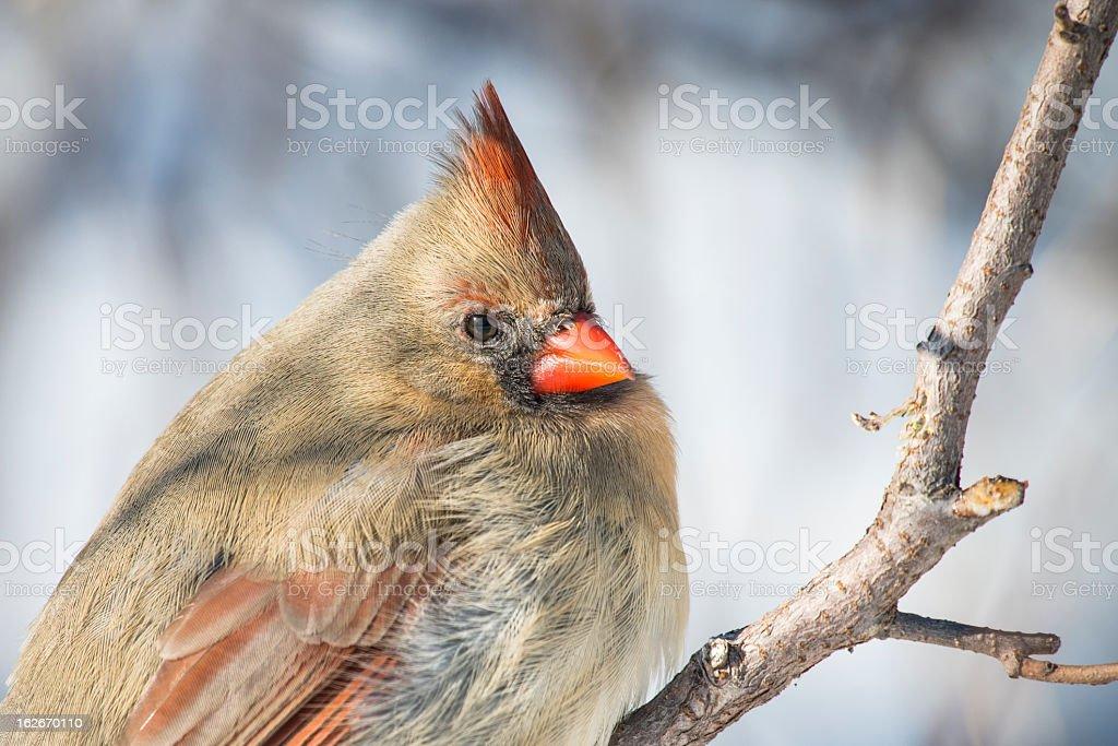 Up Close Cardinal royalty-free stock photo