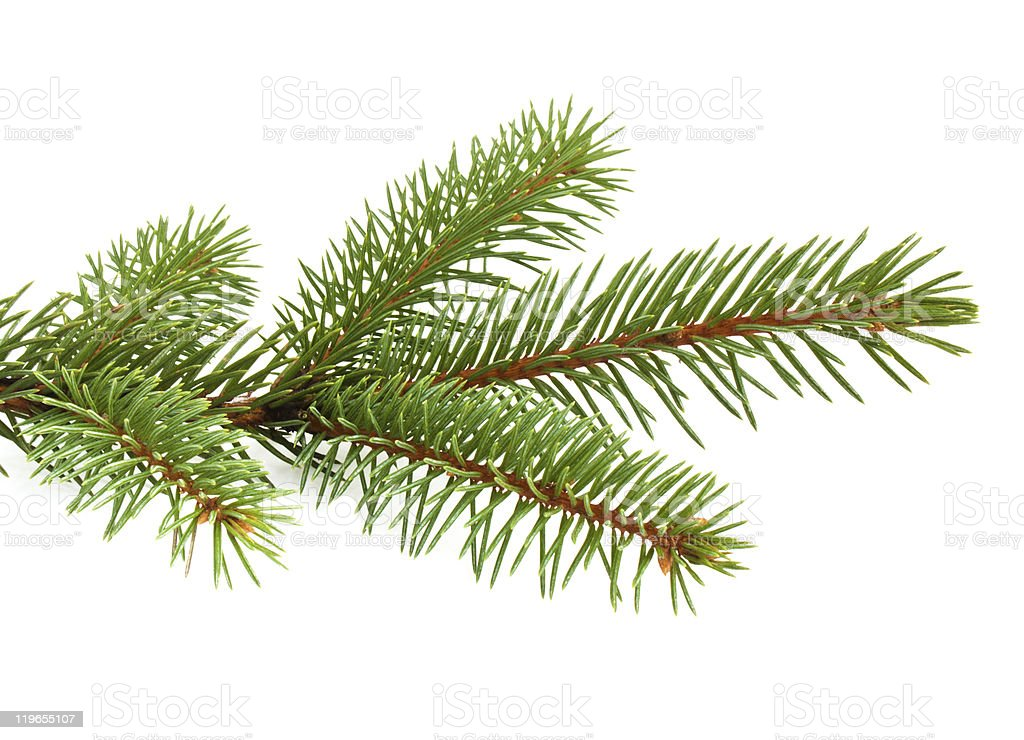 Up close photo of pine tree needles on the branch stock photo