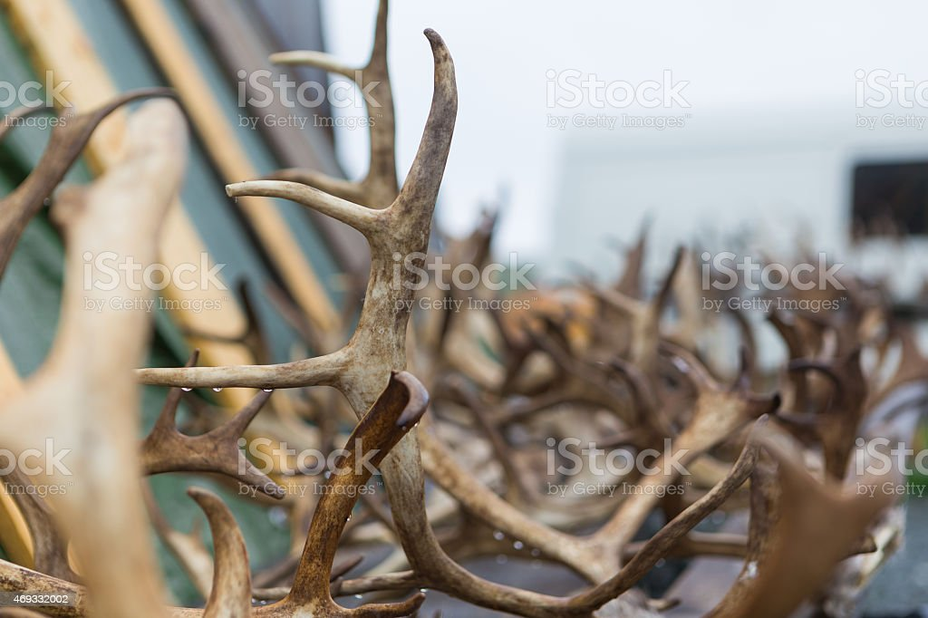 Up close photo of reindeer antlers in Norway stock photo