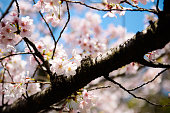 Up of cherry blossoms