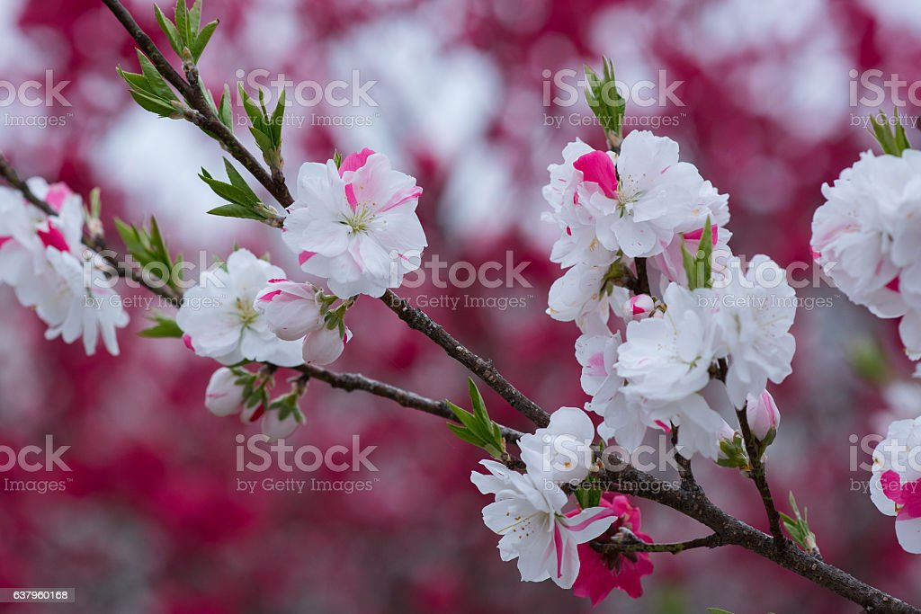 Up of flower peach stock photo