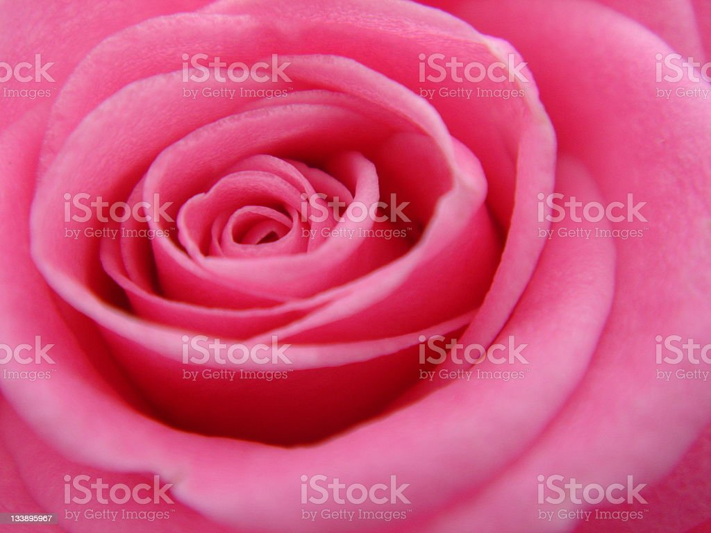 Upclose Picture of a Pink Rose royalty-free stock photo