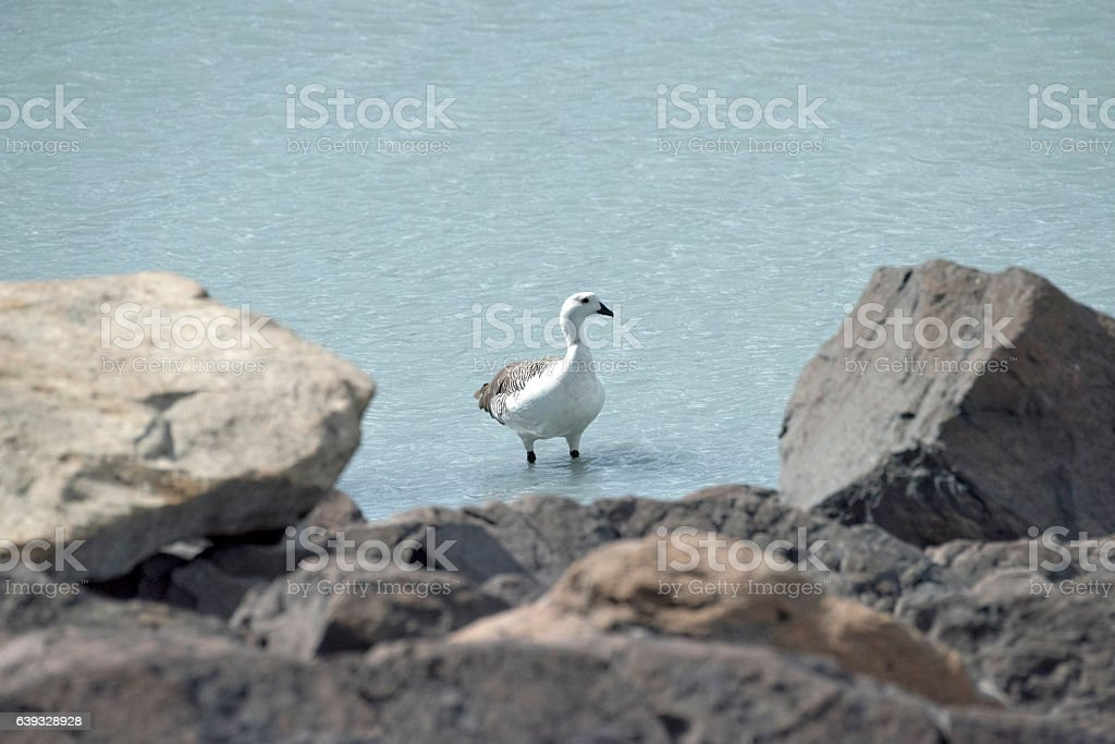 Upland goose stock photo