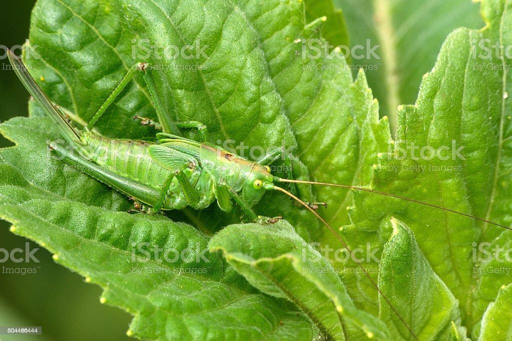 Upland green bush-cricket stock photo