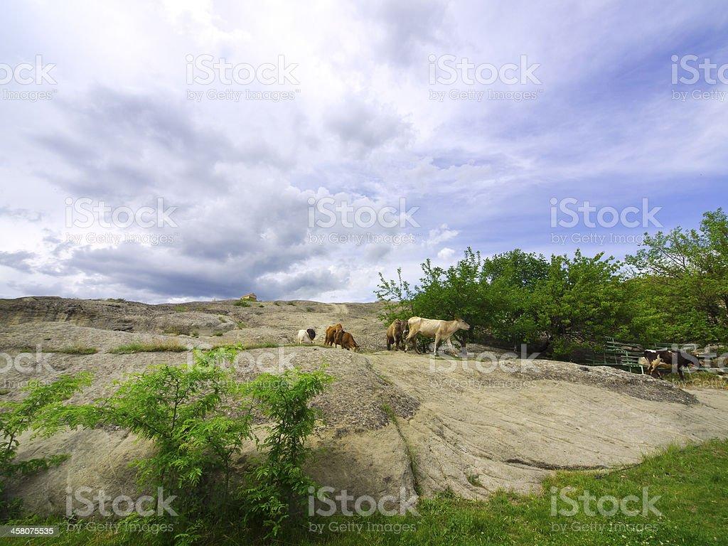 Uplistsikhe cows stock photo