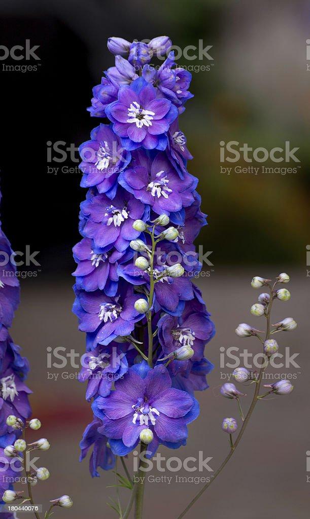 Upright Purple Delphium royalty-free stock photo
