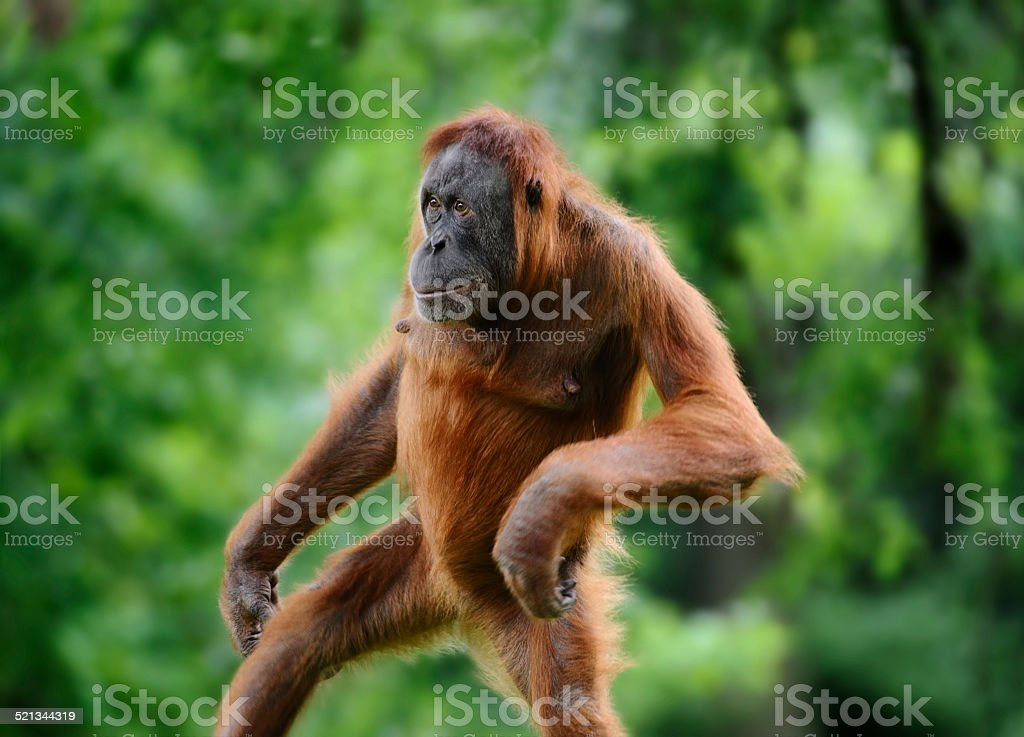 upright walking orangutan stock photo