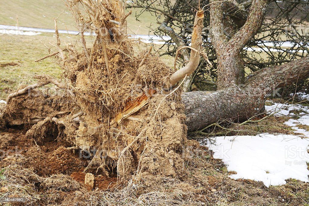 Uprooted Apple Tree in Winter stock photo