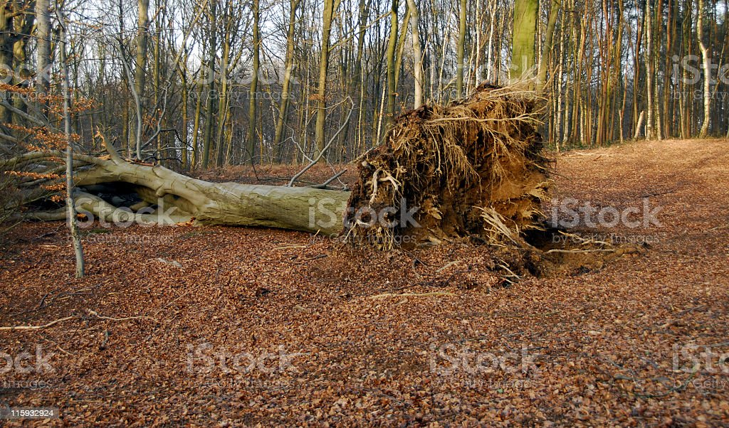 Uprooted beech tree after the storm stock photo