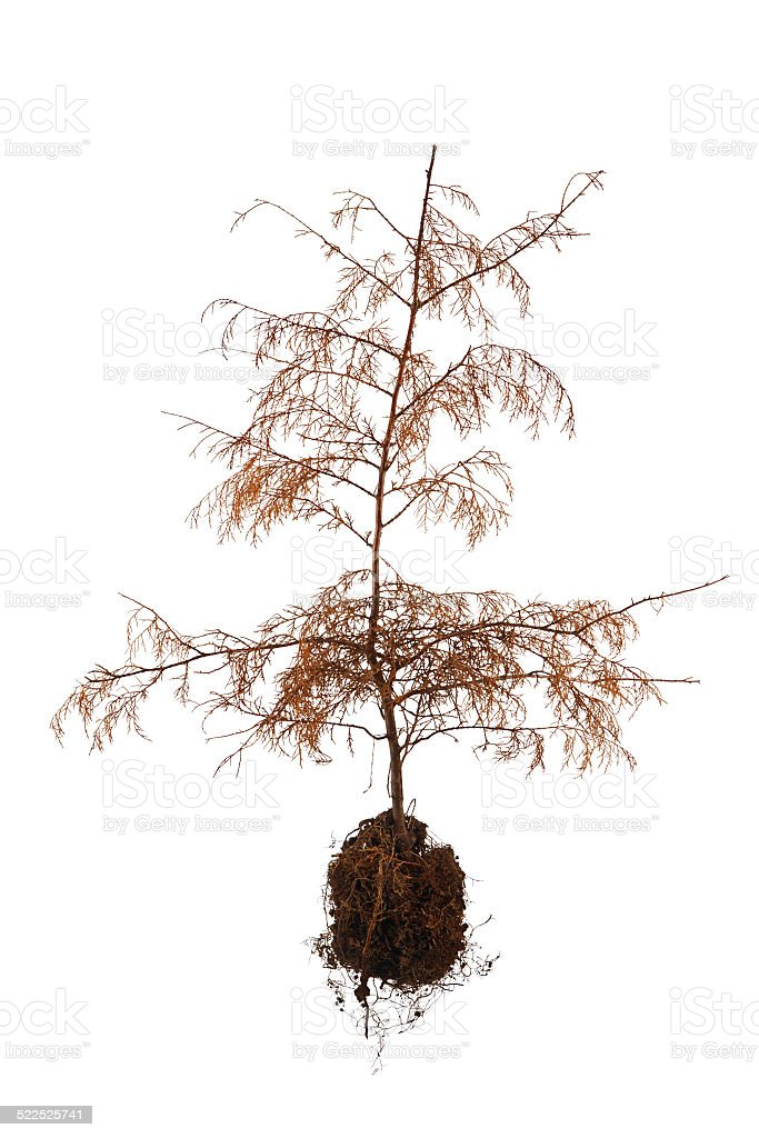 Uprooted Dead Tree stock photo