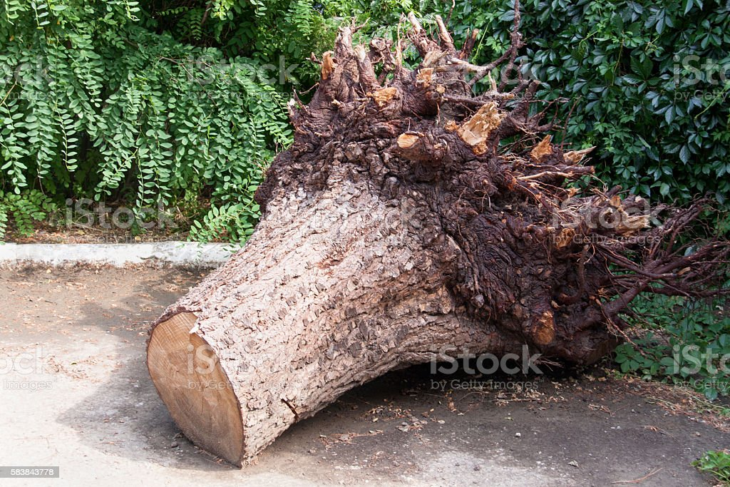 uprooted stump of the tree in the park stock photo