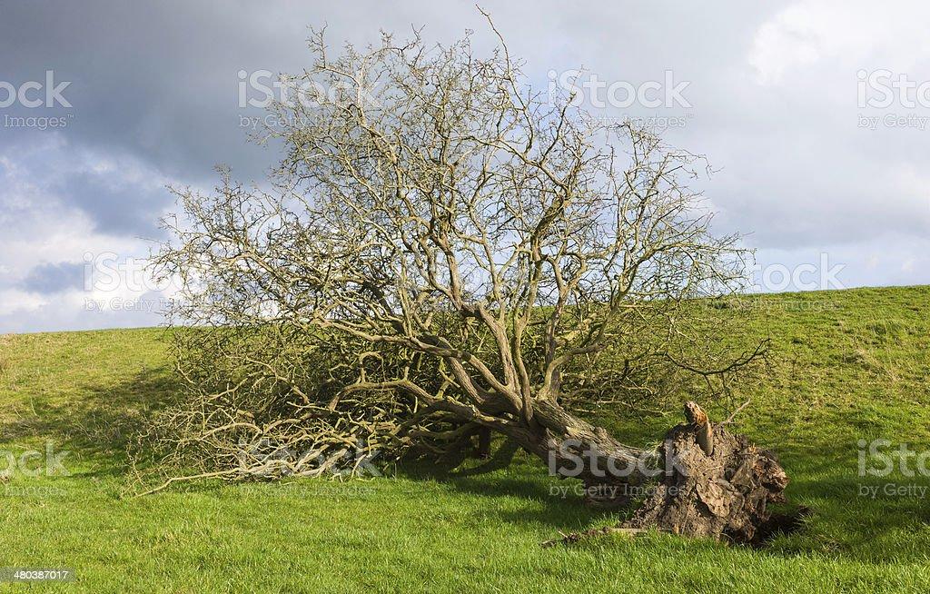 Uprooted tree following storm damage, Beverley, Yorkshire, UK. stock photo