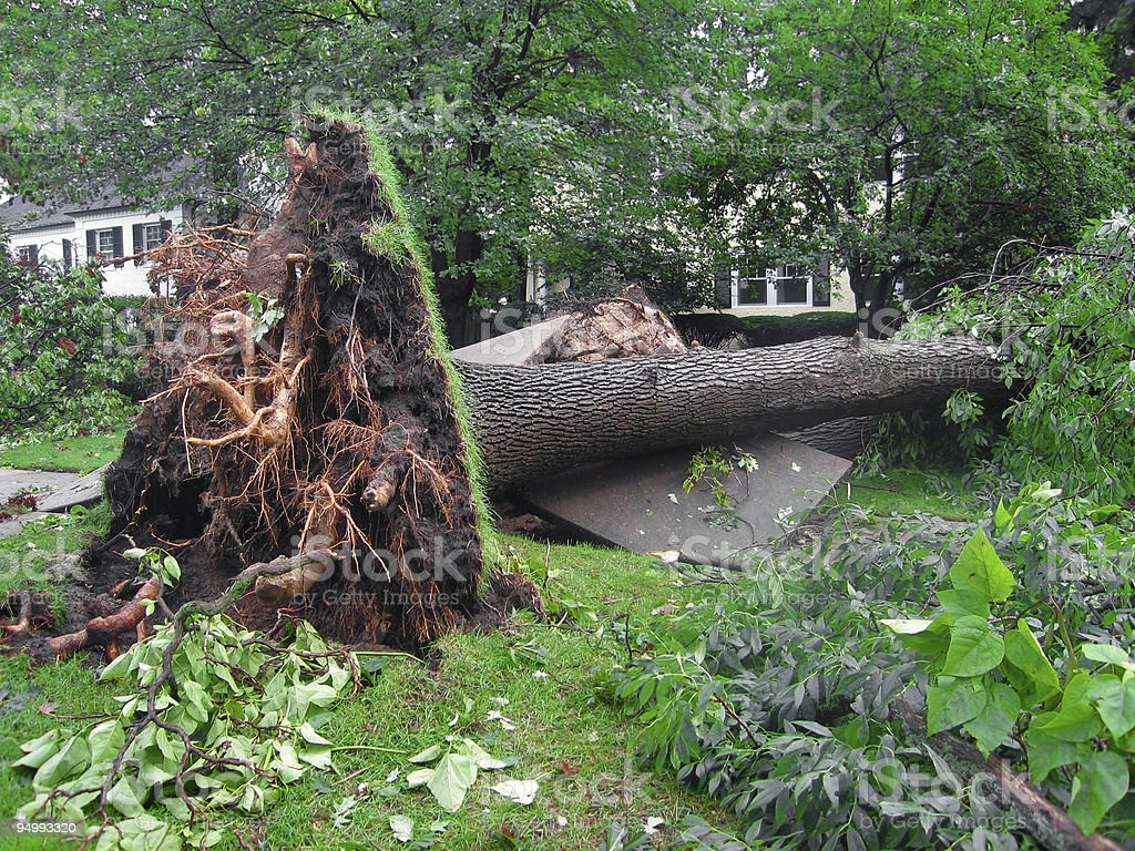 Uprooted Tree from a Storm stock photo