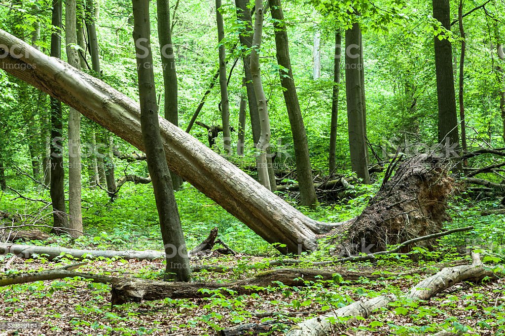 Uprooted Tree In A Forest stock photo