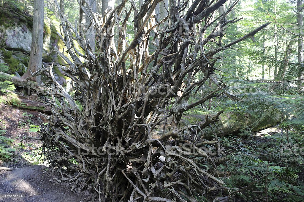 Uprooted Tree royalty-free stock photo