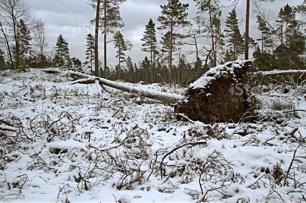Uprooted tree... stock photo