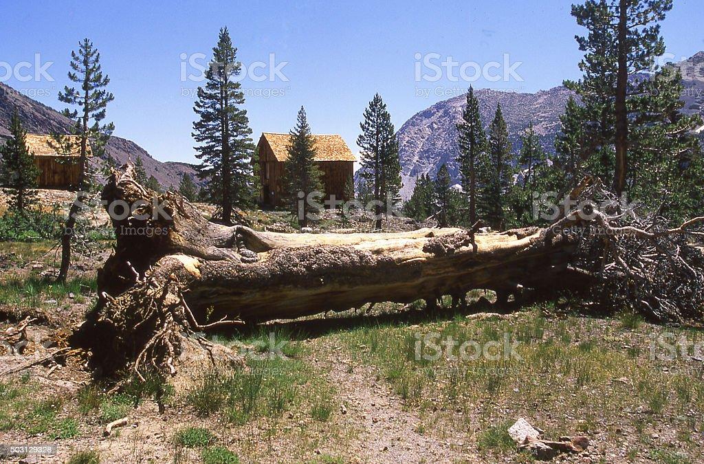 Uprooted tree Sierra Nevada Mountains Yosemite National Park California stock photo