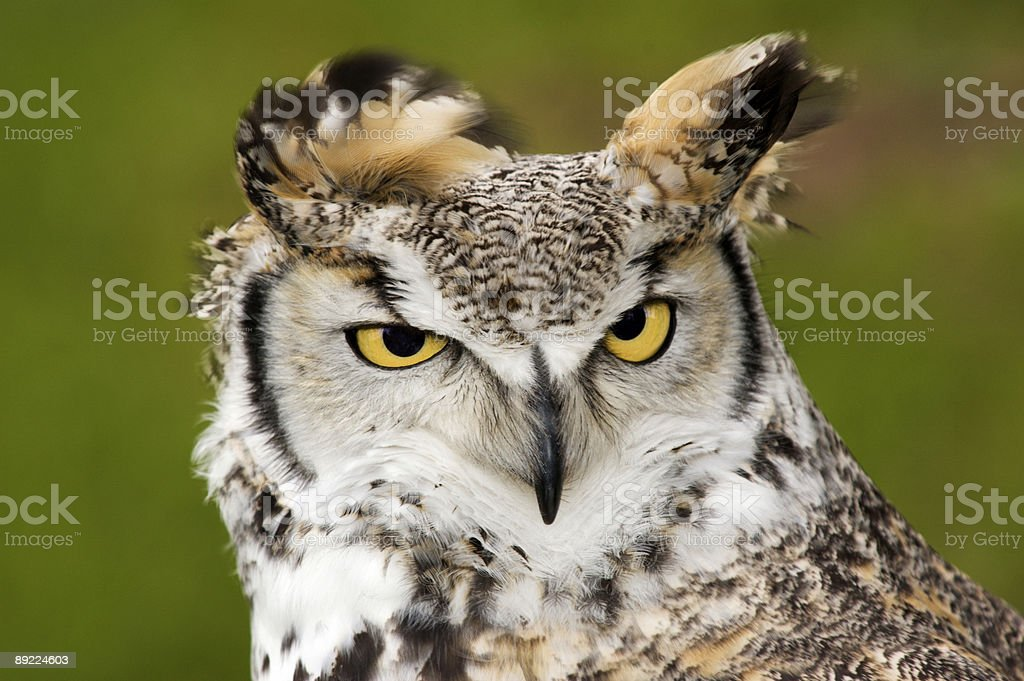 Upset Great Horned Owl (Bubo virginianus) royalty-free stock photo