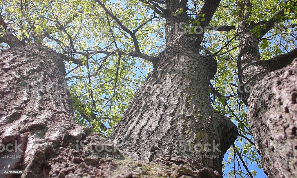 Up-Shot Triple Oak Tree stock photo
