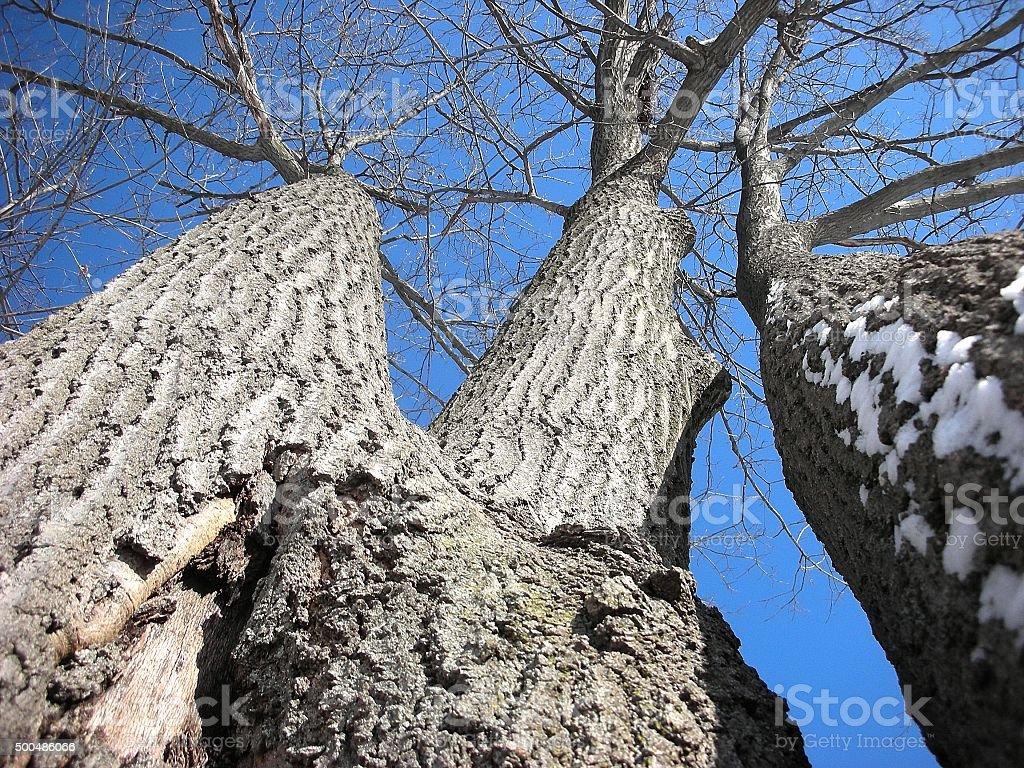 Up-Shot Triple Oak Tree Winter Season stock photo
