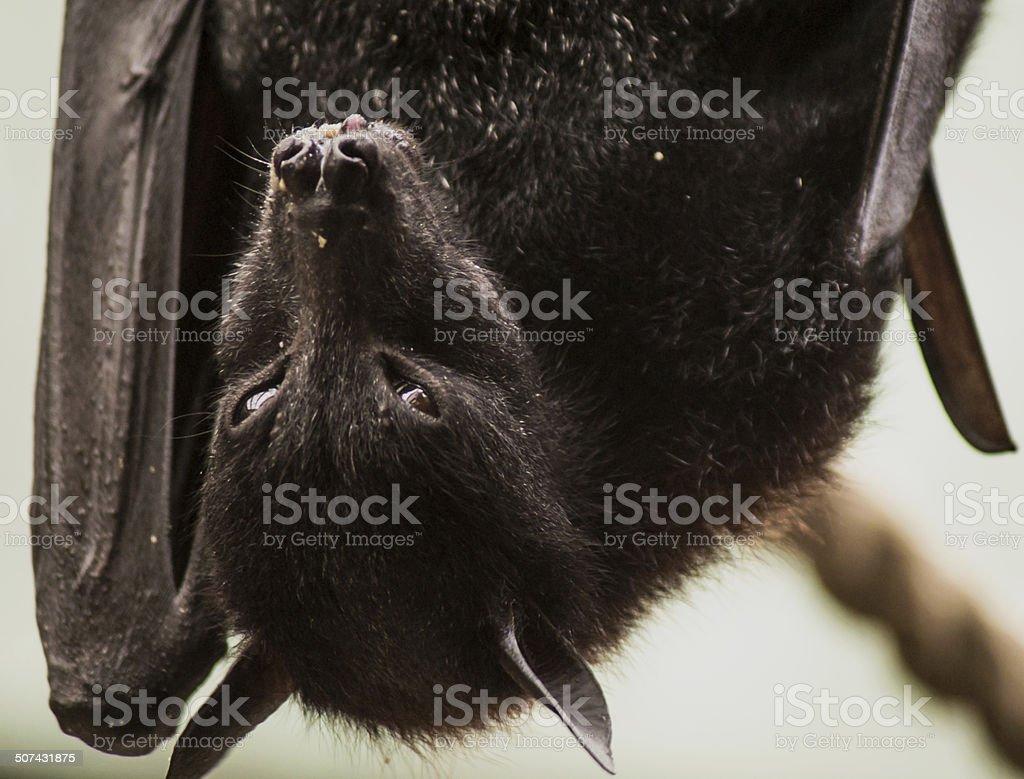 Upside Down Bat stock photo