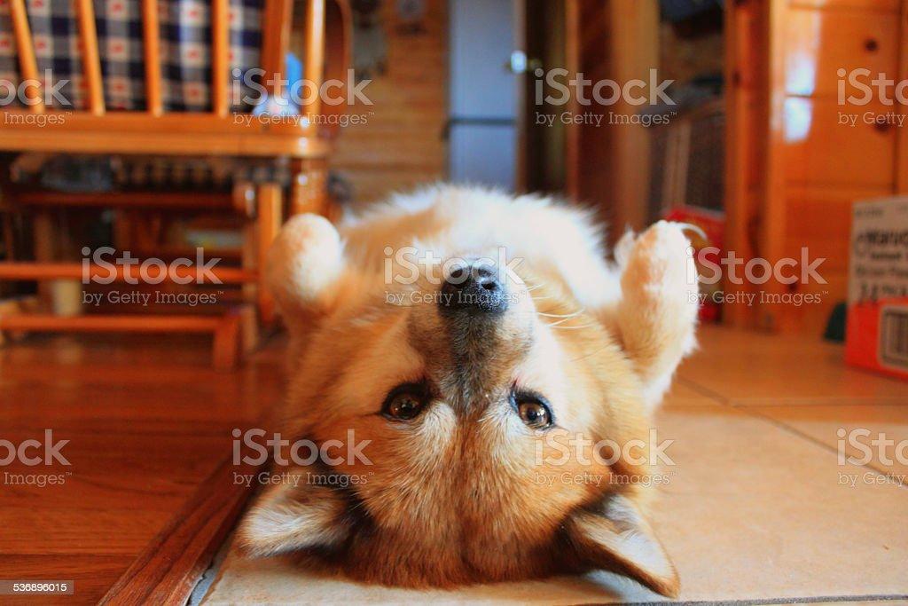 upside down dog royalty-free stock photo