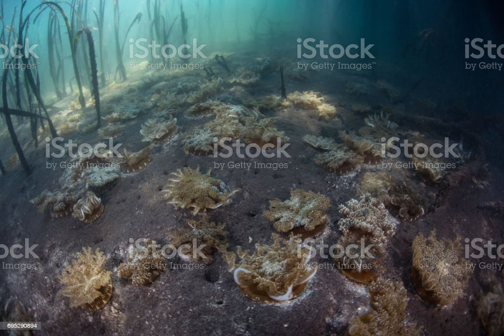 Upside Down Jellyfish in Seagrass Meadow stock photo