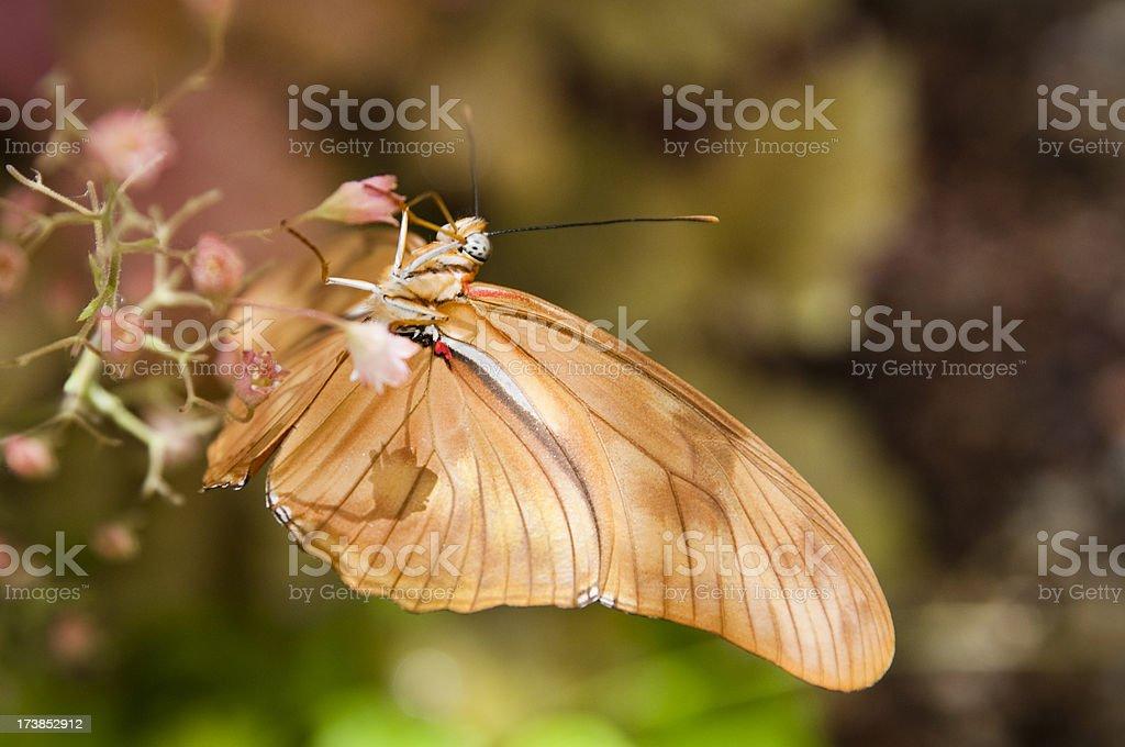 Upside Down Julia Butterfly stock photo
